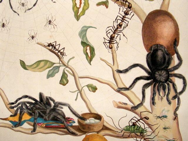 maria-sibylla-merian-insecte