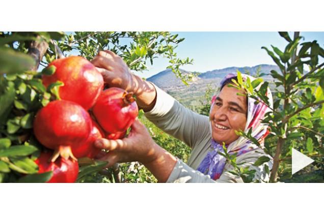Colheita da romã, em campos da Turquia