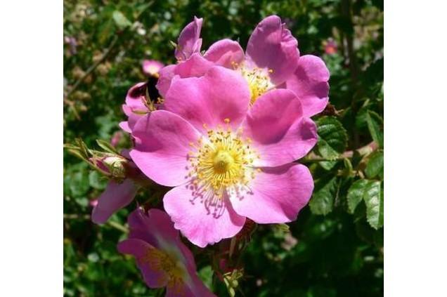 A flor rosa mosqueta, de onde é extraído o óleo essencial