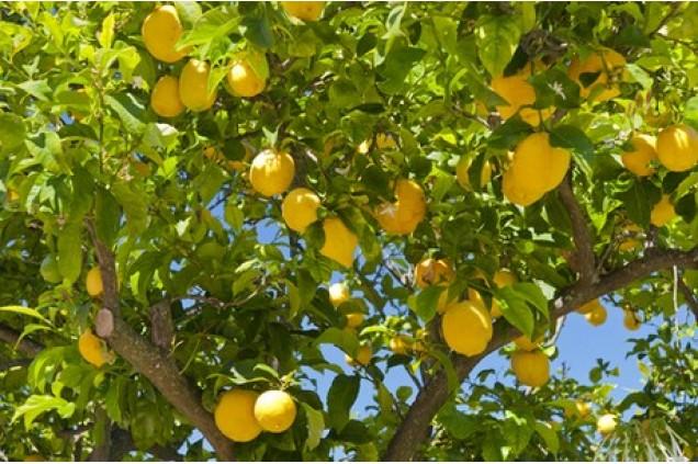 Pé de limão siciliano